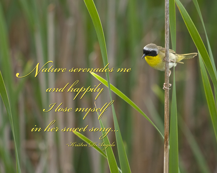 Common Yellowthroat Warbler web
