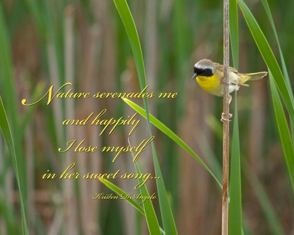 Common Yellowthroat Warbler web