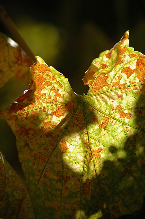 Grapevine Heart Shaped Leaf Backlit by Sun Close Up