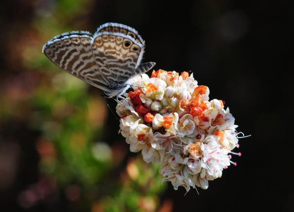 marine-blue-on-buckwheat-web