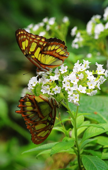 mirrored-malachite-butterflies
