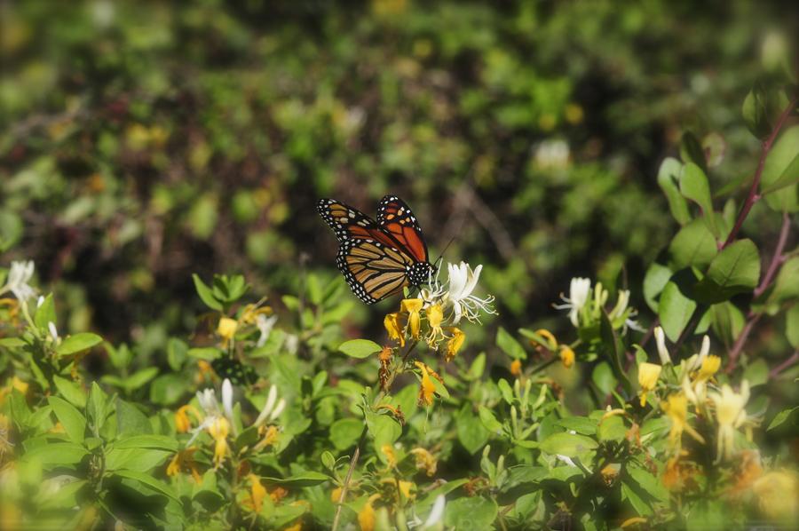 monarch on honey suckle