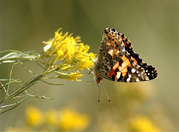 painted lady in sun