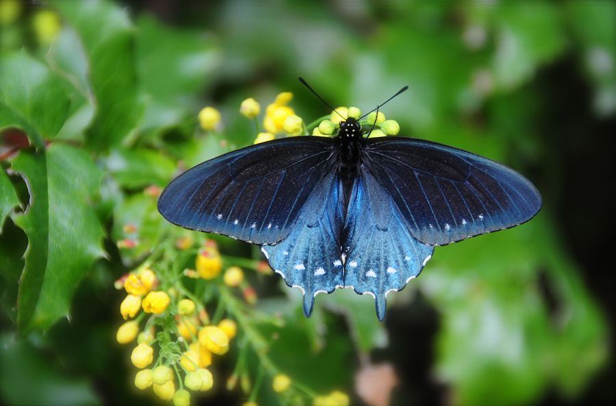 pipevine swallowtail butterfly on golden showers