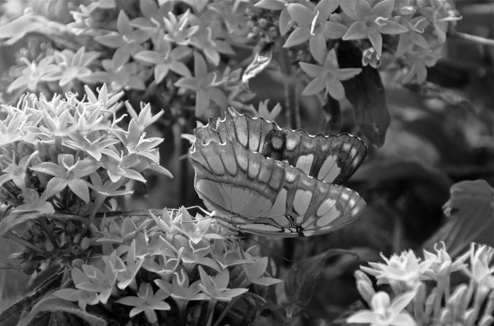 malachite_butterfly_bw_web
