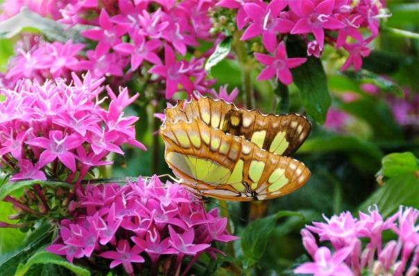 malachite_butterfly_c_web