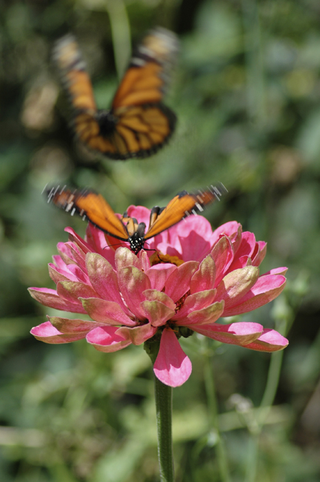 monarch butterfly flying web