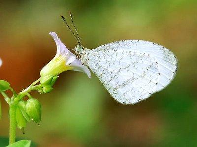 Psyche Butterfly (Leptonsia nina)