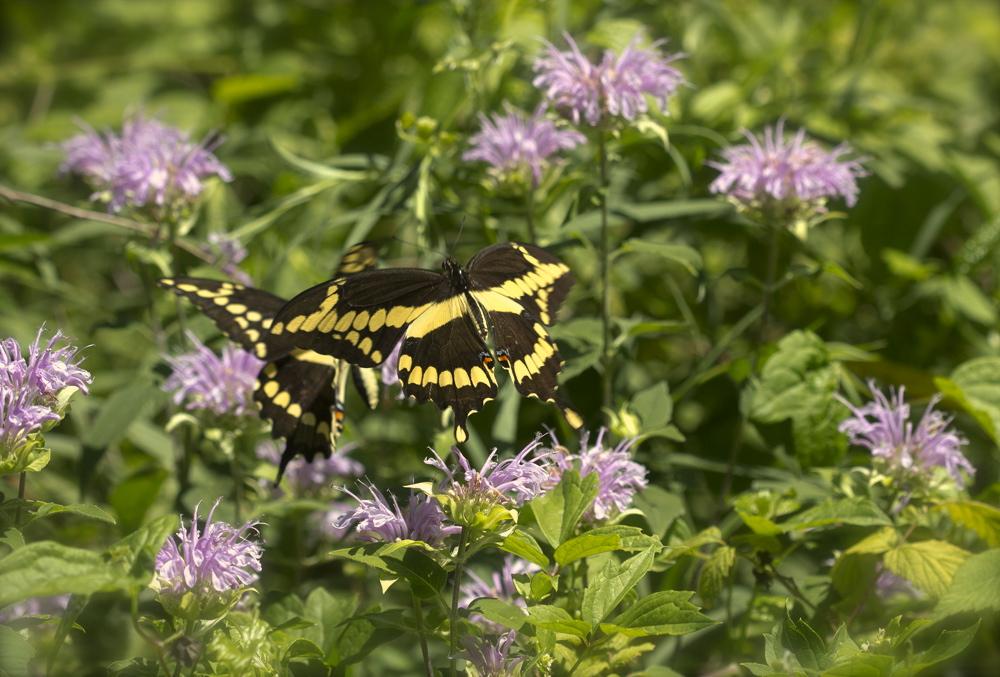 swallowtails dancing in flight 3