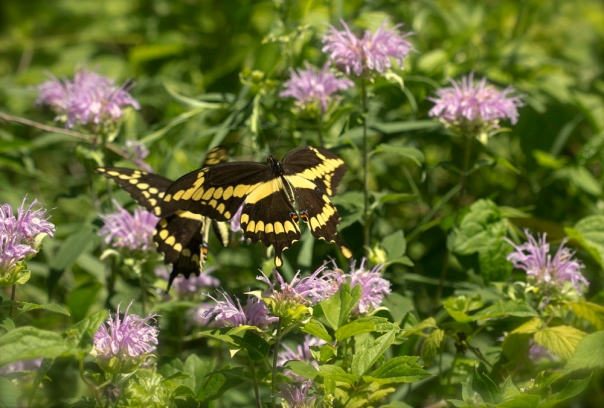 swallowtails dancing in flight 3