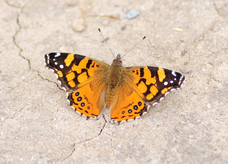 painted lady butterfly laying eggs - photo #22