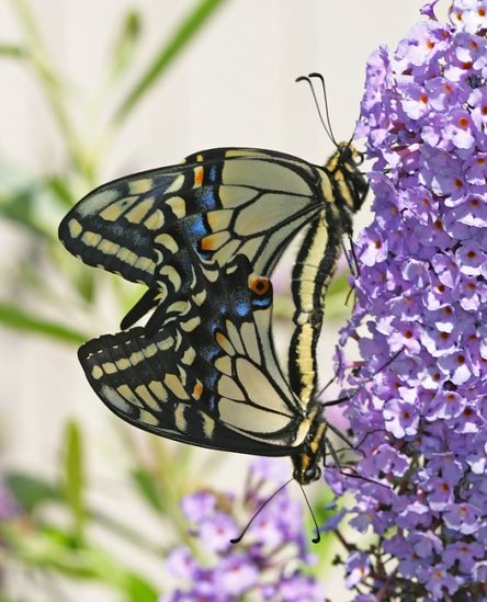 anise swallowtail butterflies mating