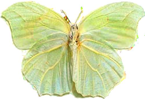 Anteos Clorinde Nivefera Green leaf2