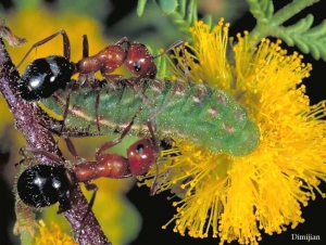 butterfly caterpillar and ants