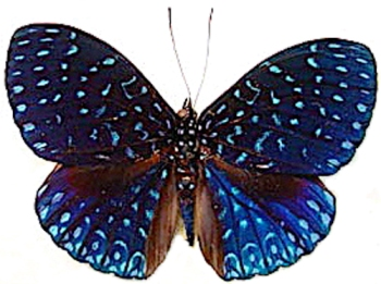 blue hamadryas Veluntina night sky butterfly