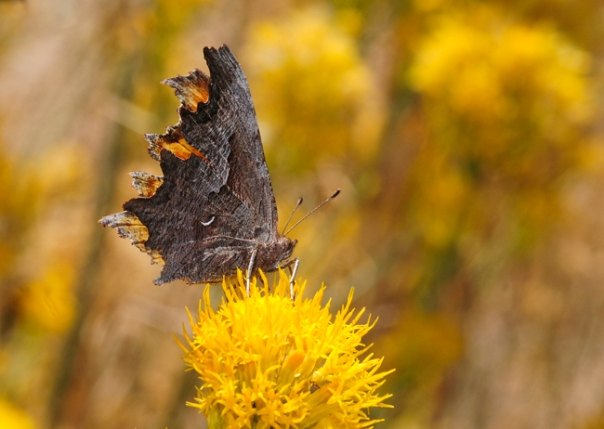 california comma butterfly