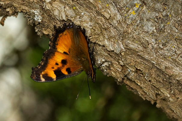 California Tortoiseshell Butterfly on Tree Bark