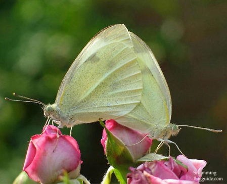 cloudless sulphur butterflies mating