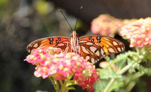gulf fritillary butterfly on pink yarrow flower