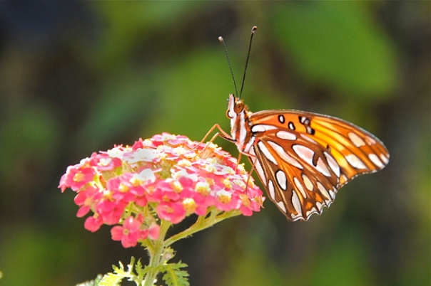 gulf fritillary butterfly on pink yarrow