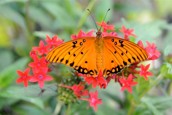 gulf fritillary butterlfy on red pentas
