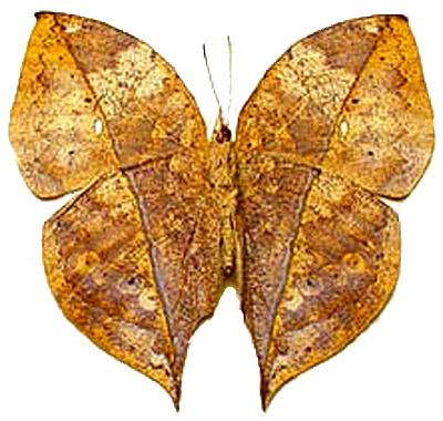 Kallimia inachus Dry Leaf Butterfly 2