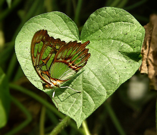 malachite butterfly on heart leaf