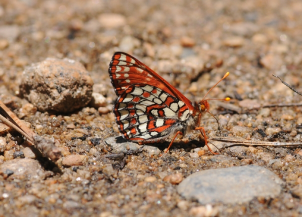male checkerspot butterfly puddling