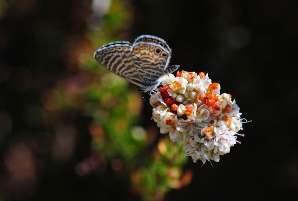 marine blue butterfly on buckwheat flower