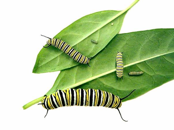 monarch butterfly caterpillar instars