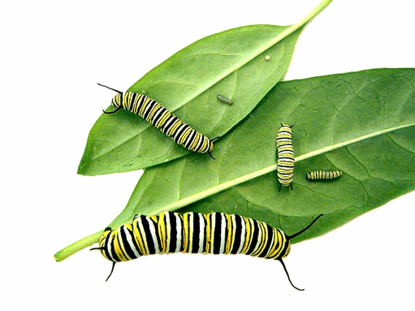 monarch butterfly caterpillar instars