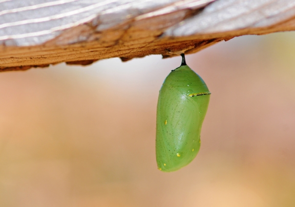 monarch butterfly chrysalis