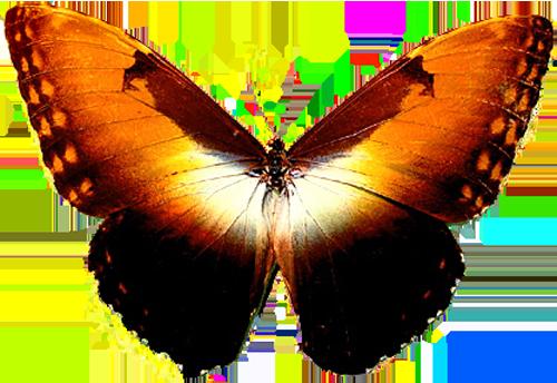 Morpho Hecuba Obidona sunset butterfly 2