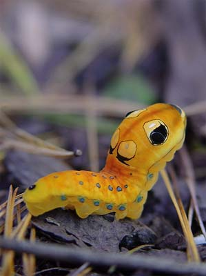 spicebush caterpillar