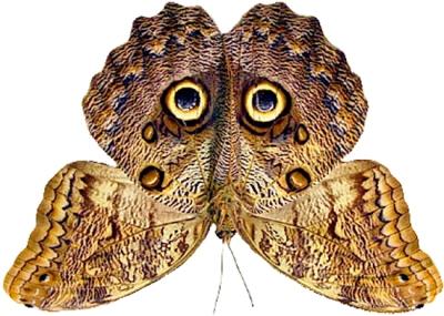 Owl Butterfly2
