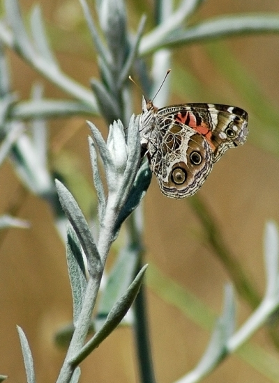 painted lady butterfly laying eggs - photo #10