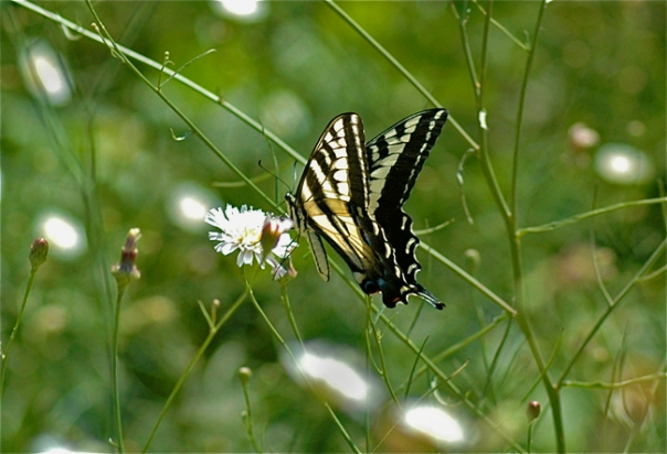 pale swallowtail butterfly nectaring on field flower