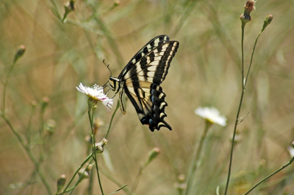 pale swallowtail butterfly nectaring on white field flower