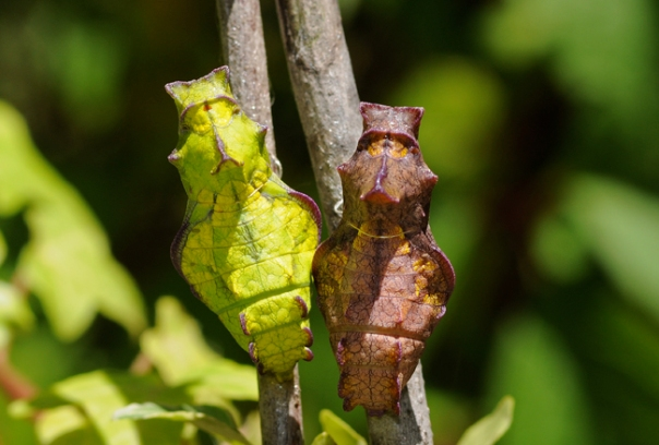 pipevine swallowtail butterfly chrysalis