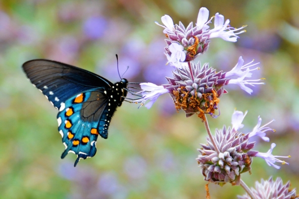pipevine swallowtail butterfly on purple sage