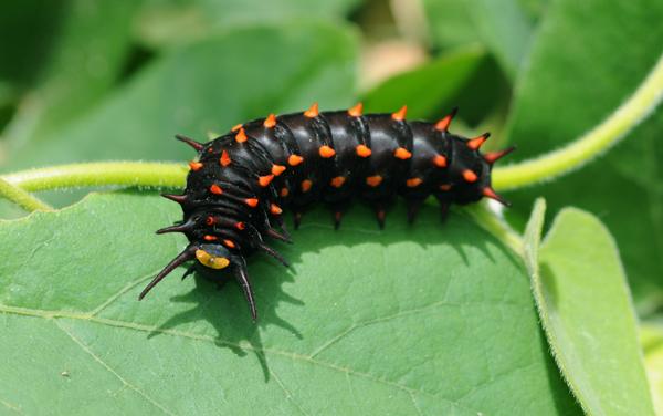 pipevine swallowtail butterlfy caterpillar