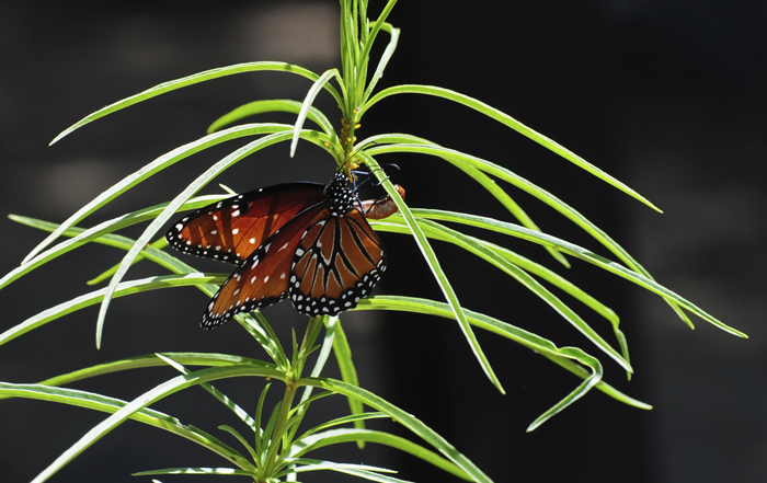 Queen Monarch Butterfly Laying Eggs on Milkweek