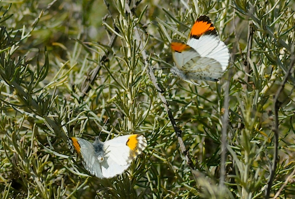 sarah orange tip butterflies flirting