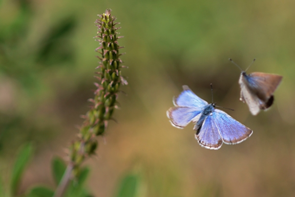 silvery blue butterflies flirting in flight