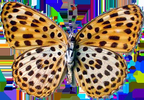 timelaea maculata leopard butterfly 2