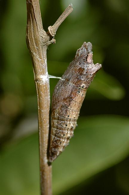 western tiger swallowtail butterfly chrysalis