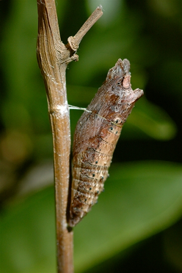 western tiger swallowtail butterfly chrysalis