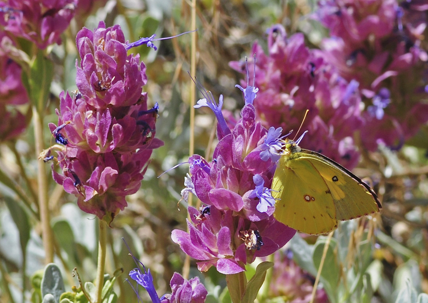 california dogface butterfly nectaring