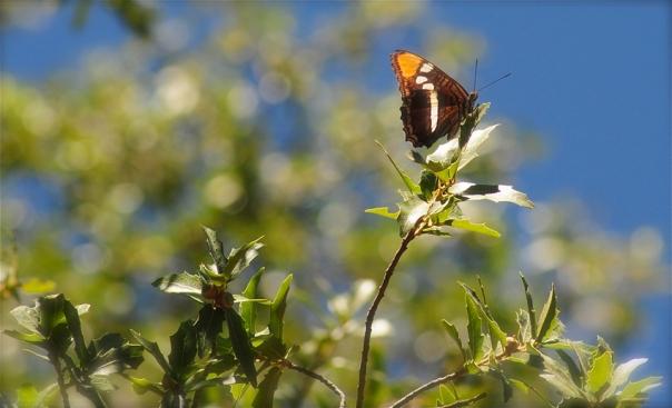 california sister butterlfy on oak