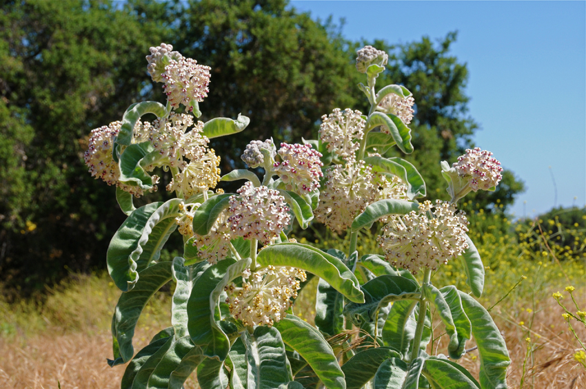 indian milkweed
